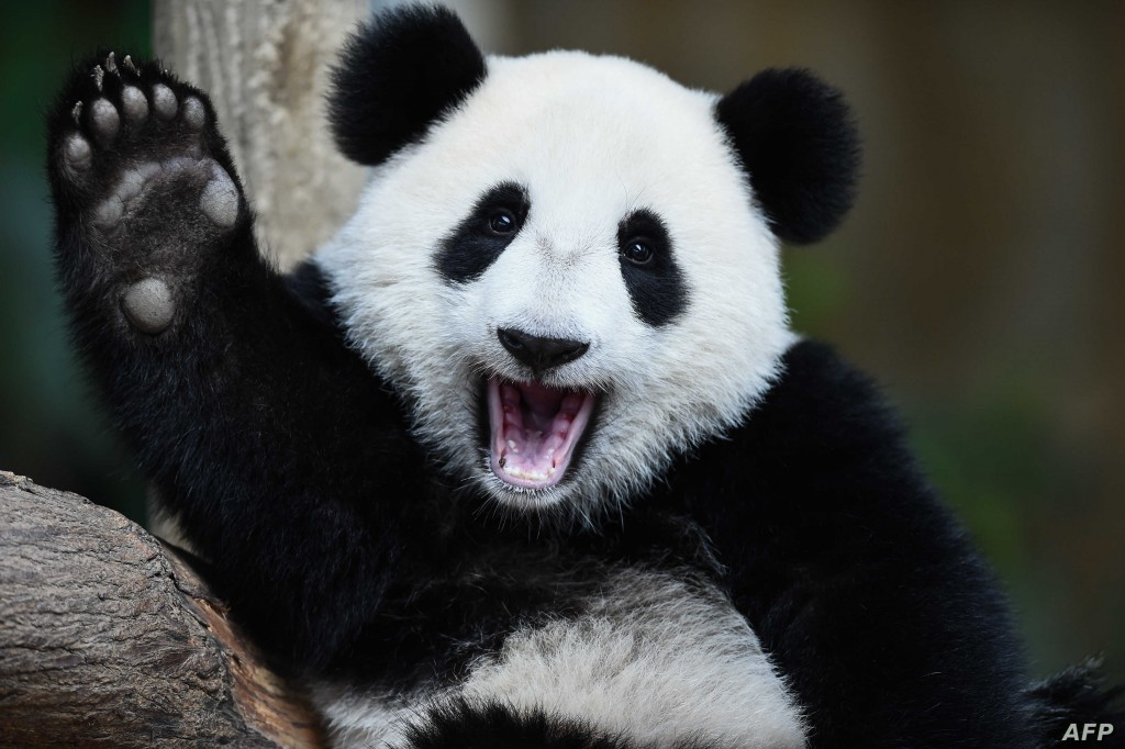 One-year-old female giant panda cub Nuan Nuan reacts inside her enclosure during joint birthday celebrations for the panda and its ten-year-old mother Liang Liang at the National Zoo in Kuala Lumpur on August 23, 2016. Giant pandas Liang Liang, aged 10, and her Malaysian-born cub Nuan Nuan, 1, were born on August 23, 2006 and August 18, 2015 respectivetly. / AFP PHOTO / MOHD RASFAN